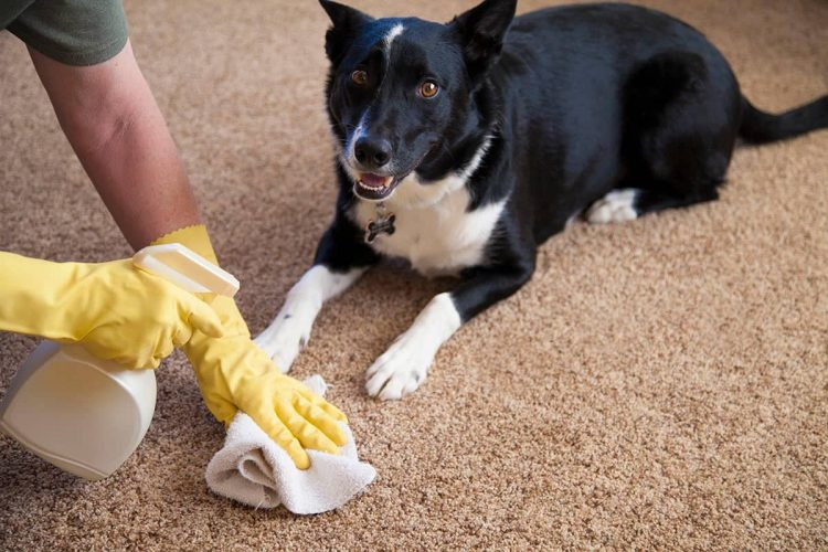 Cleaning a rug from pet stains.