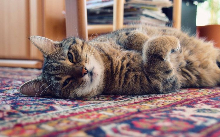 Cat laying on a pet-proof rug.